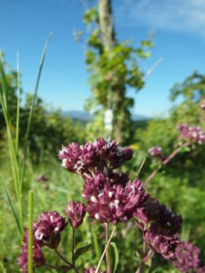 La marjolaine, une plante aromatique de nos terroirs solaires